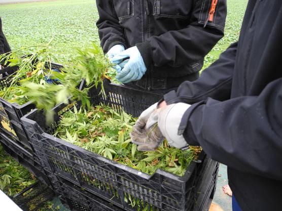 Hier trennen die Arbeiter Stängel und Blätter von den Pflanzen, übrig bleiben die Blüten.