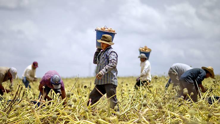 Einwanderer auf einer Zwiebelfarm im US-Bundesstaat Georgia: Die Wirtschaft befürchtet einen krassen Mangel an Arbeitskräften, sollte die Regierung ihre Reform der Aufenthaltserlaubnisse umsetzen. (Archiv)