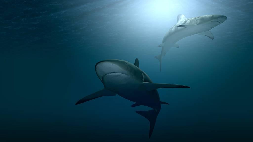 Segler entdeckt Riesenhai