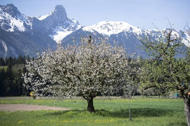 Ein Kirschbaum blüht auf einer Wiese vor dem Stockhorn in Thun.