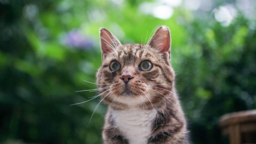 Die Katze wurde beim Angriff am Hinterlauf verletzt. (Symbolbild)