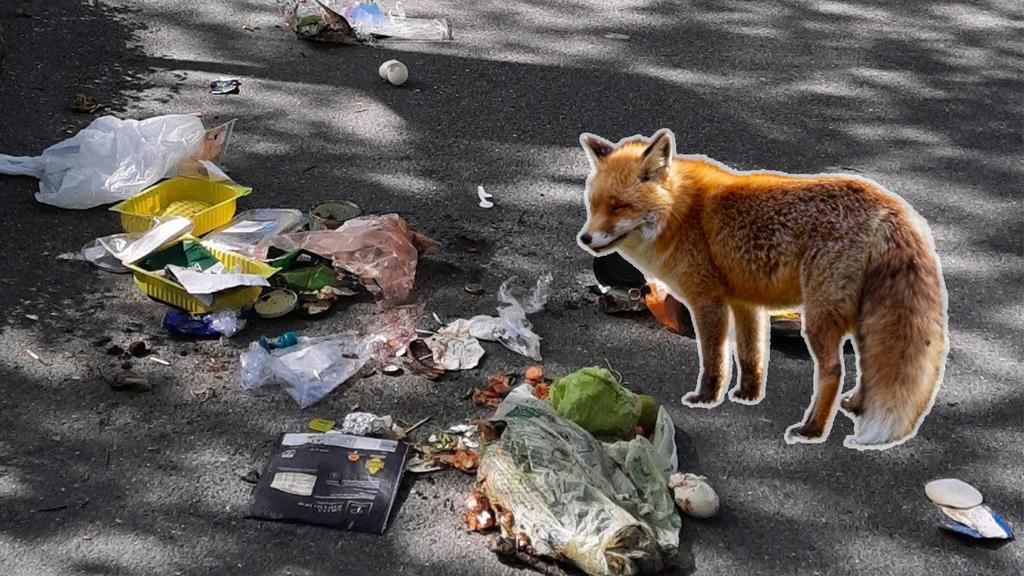 Füchse reissen wegen Nachwuchs vermehrt Güselsäcke auf