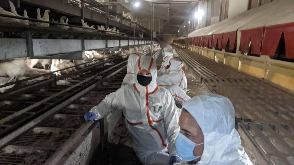 Mehrere Tierschutzaktivistinnen und -aktivisten haben sich in einem Legehennen-Stall in Eptingen angekettet.