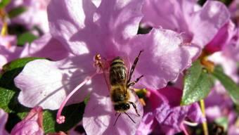 Eine Honigbiene labt sich am Nektar einer Blüte. (Archiv)