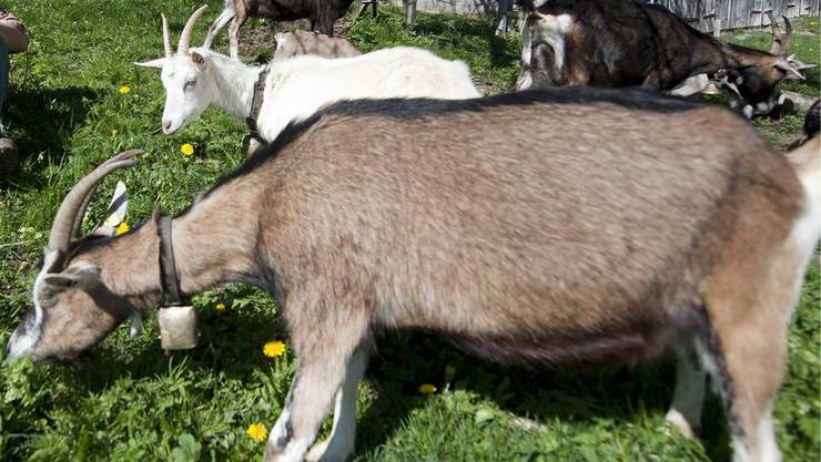 Jetzt entlasten 14 Ziegen, sechs Schafe, zwei Lamas und drei Esel die Gärtner. (Symbolbild)