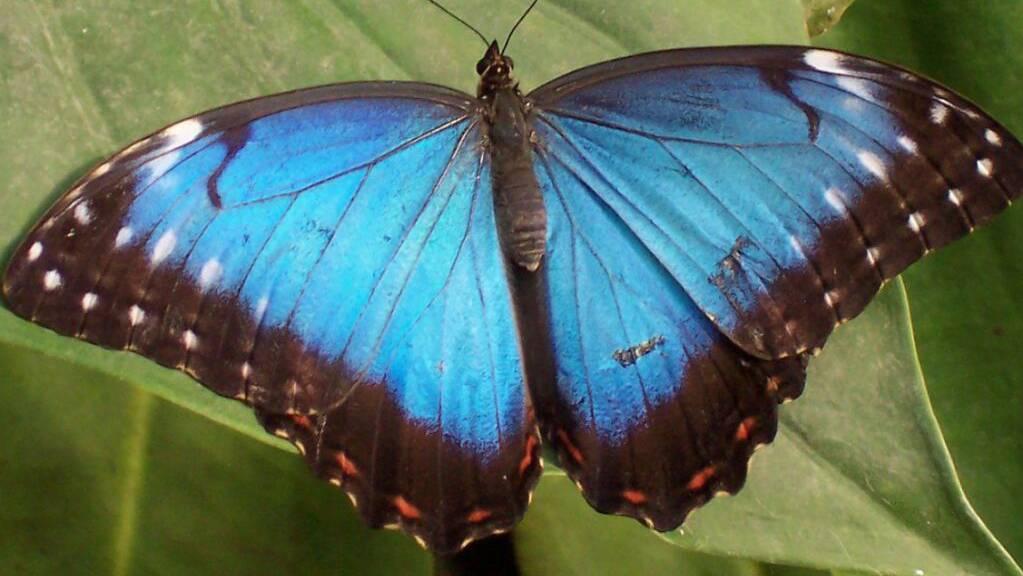 Kolumbien hat nicht nur die meisten Vogel- und Orchideenarten, sondern auch den grössten Reichtum an Schmetterlingen, wie eine neue Studie nachweist. Der Morphofalter ist einer der fast 4000 Arten (Wikicommons).