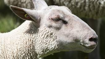 In der Schweiz dürfen nur Lammköpfe verkauft werden. (Symbolbild)