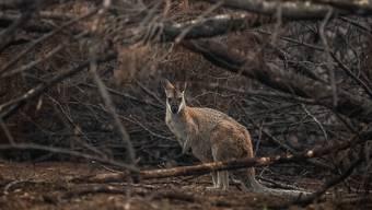 Tieren in den australischen  Brandgebieten droht der Hungertod. Helikopter werfen für sie Futter ab. (Foto: James Gourley / EPA Keystone)