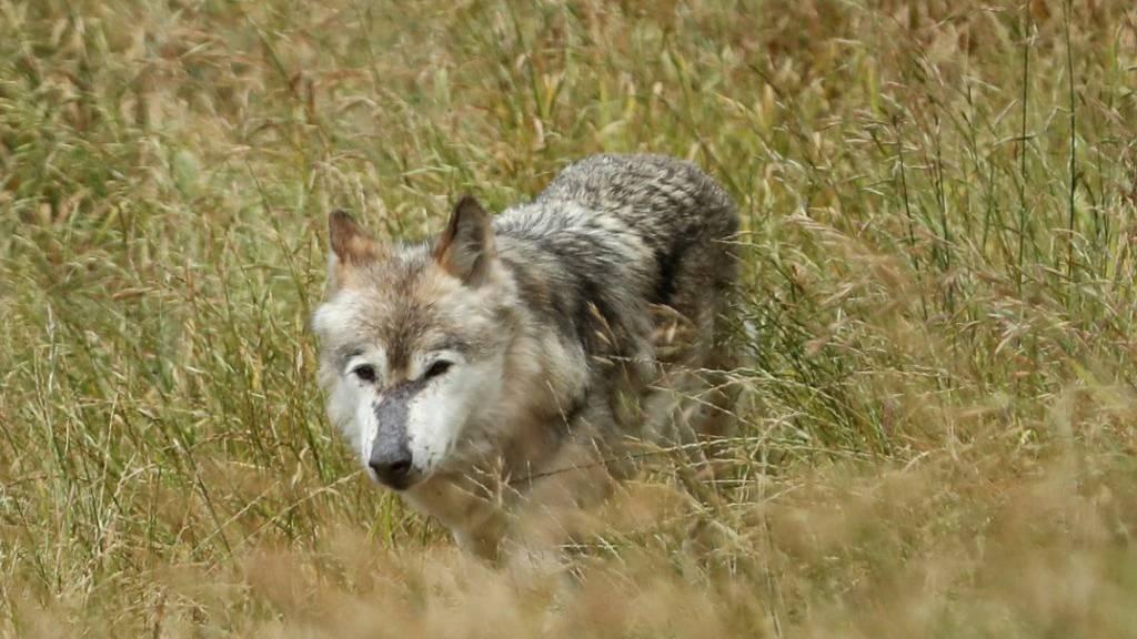 In der Schweiz leben inzwischen 30 bis 40 Wölfe. (Symbolbild)
