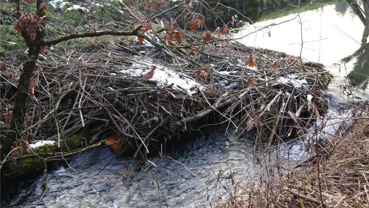 Aarau Rohr: 2013 wurden die Biberdämme mit Rohren entwässert, nun werden sie entfernt – um das Grundwasser zu schützen.
