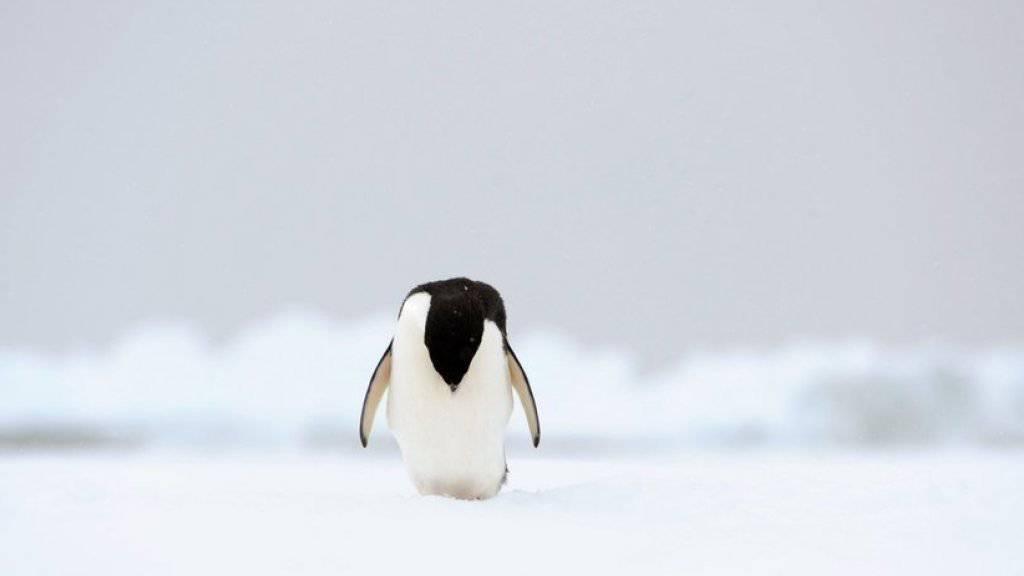 Ein Adelie-Pinguin in der Antarktis. Die Tiere sind durch den Klimawandel und steigende Meerestemperaturen immer mehr bedroht. (Archiv)
