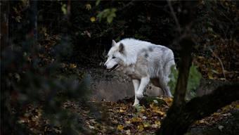Die Tage des kanadischen Wolfs im Basler Zolli sind gezählt.