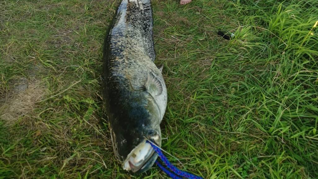 Fischer zieht Zwei-Meter-Wels aus Sempachersee