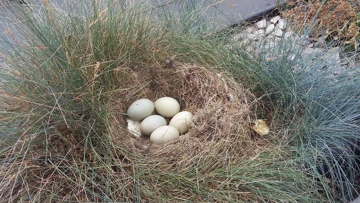Nur die Hälfte der Eier wurde vollständig ausgebrütet. Hier die fünf Auserwählten.