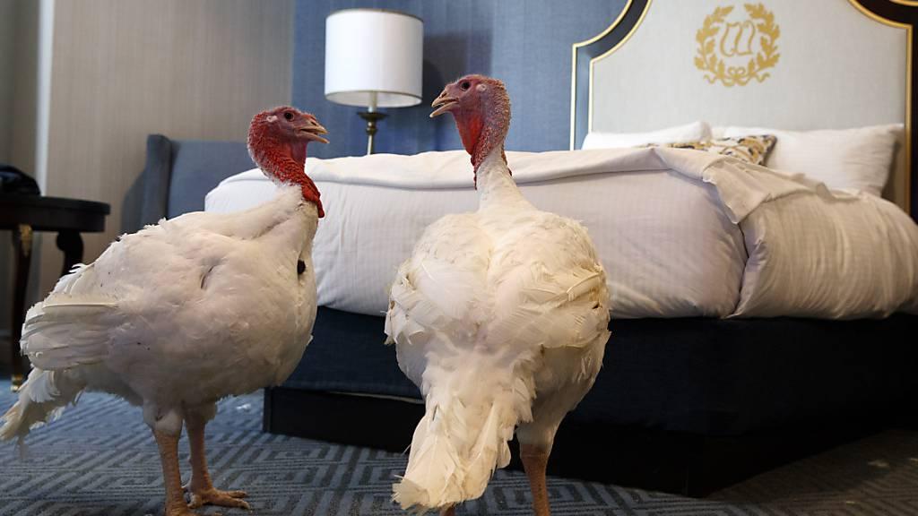 Trumps Truthähne leben vor Thanksgiving im Luxushotel
