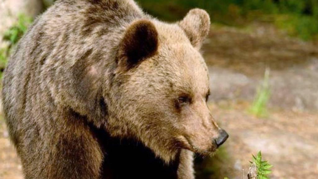 Bären-Ärger in Norditalien - Vater verteidigt Sohn