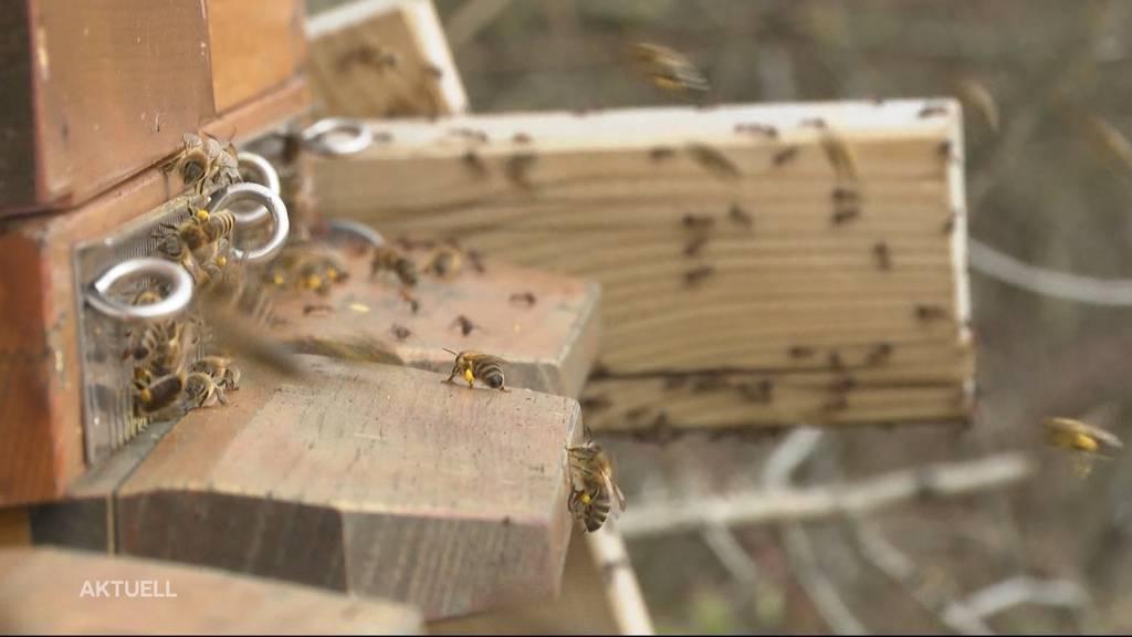 Bienen-Diebe: Tausende Bienen wurden in Oensingen gestohlen
