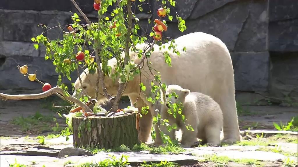 Tierischer Muttertag im Berliner Zoo: Polarbär-Mama mit Leckerbissen-Strauss überrascht