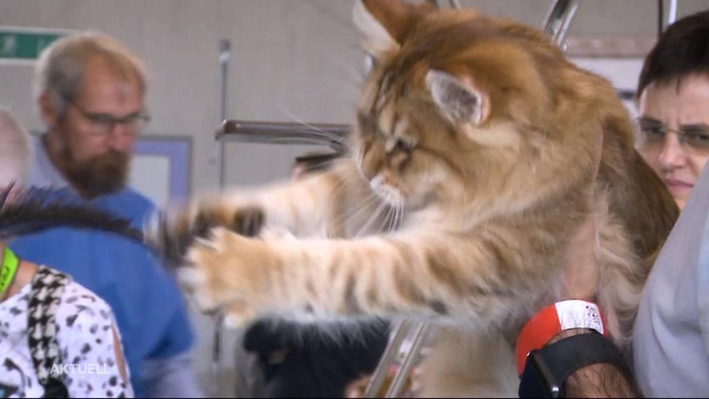 Katzenausstellung Villmergen
