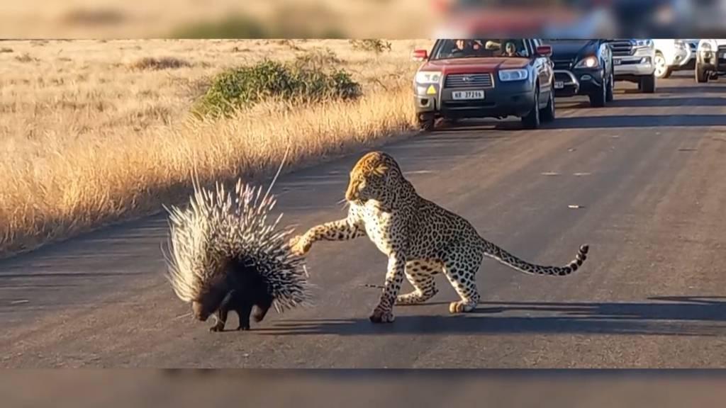 Keine leichte Beute: Leopard verzweifelt an Stachelschwein
