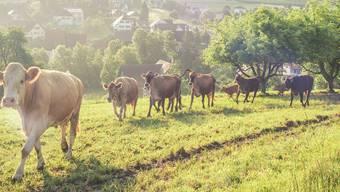 """Ein Sujet stand unter dem Titel """"Rushour à la Mettauertal"""" und zeigte eine Kuhherde."""