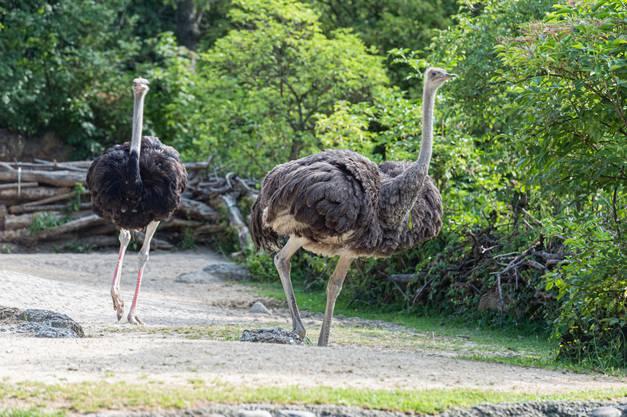 Die Henne Aruba (4) und der Hahn Mahali (2) wurden mit Onisha (5) zusammengeführt, die seit dem Tod ihres Partners alleine auf der Anlage lebte.