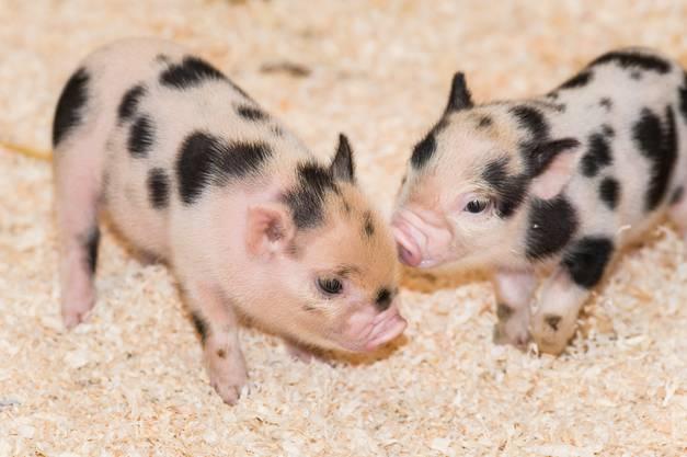 Die Minipigs bleiben in den ersten Tagen nach ihrer Geburt noch im Stall.
