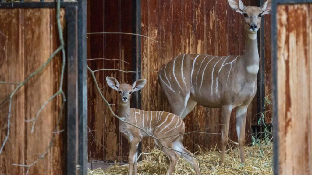Bei den Kleinen Kudus im Zoo Basel hat es Nachwuchs gegeben: Mutter des kleinen Namib ist Cony, die erst im Juli nach Basel gekommen war.