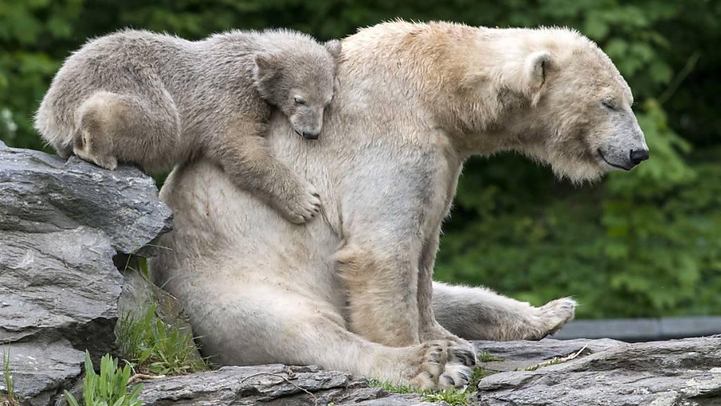 Russland zählt erstmals seine Eisbären