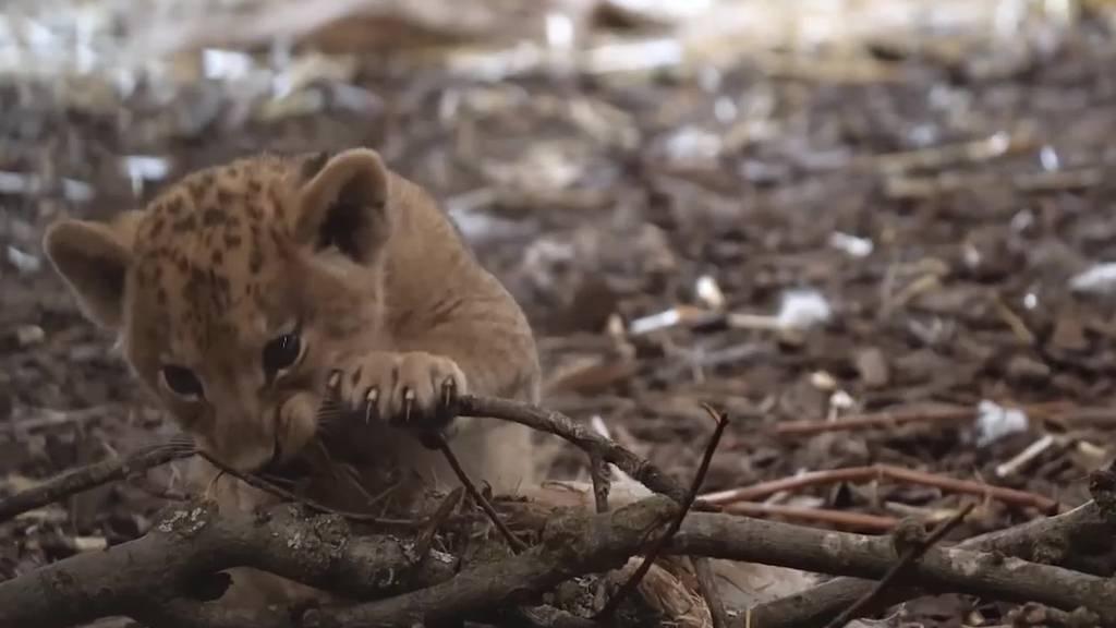 So herzig sind die Löwenbabys im Walter Zoo