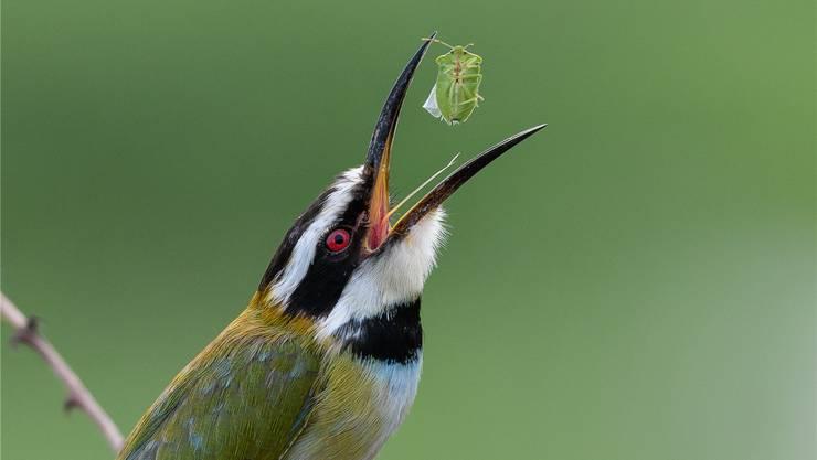 Der farbenprächtige, schlanke Vogel mit dem komplizierten Namen gehört zur Familie der Bienenfresser.