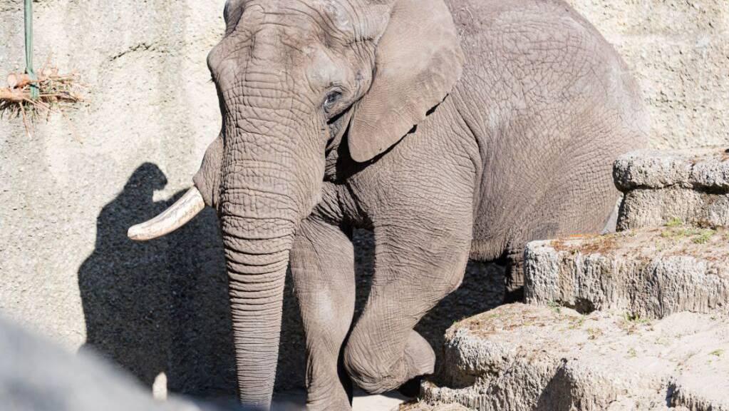 Der 29-jährige afrikanische Elefantenbulle Tusker soll im Zoo Basel für Nachwuchs sorgen.