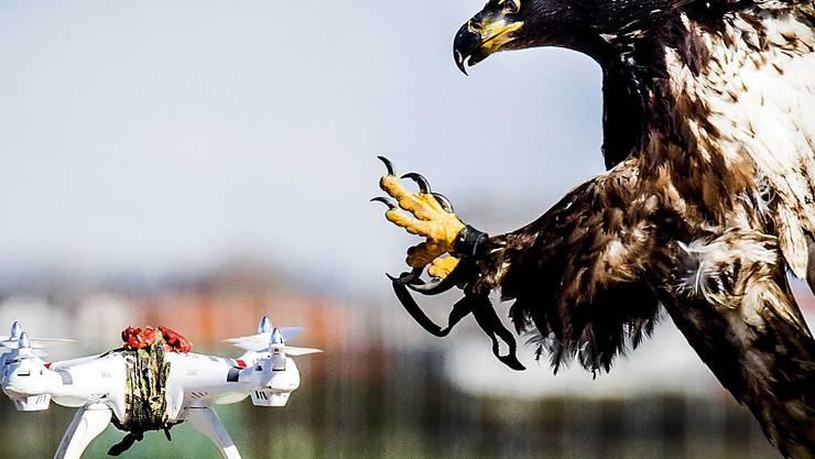 Ein Adler beim Drohnenfang (Archiv).