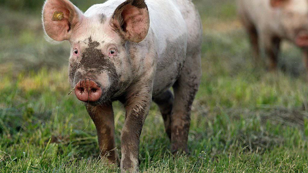 Glücklich, zumindest bis zum Schlachthof: junges Schwein in Freilandhaltung. (Archiv)