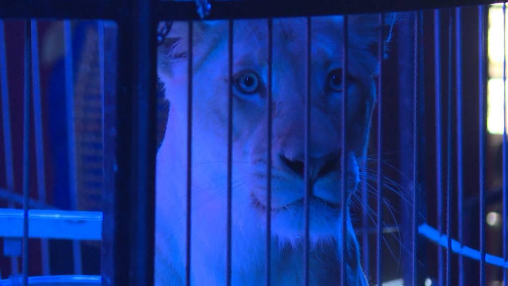 Gehören Wildtiere in den Zirkus?