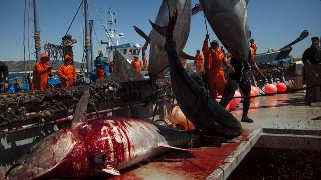 Thunfisch - beliebt und bedroht (Symbolbild)