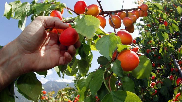 Die Aprikosenernte im Wallis hat bereits begonnen – dies zwei Wochen früher als sonst üblich. (Symbolbild)