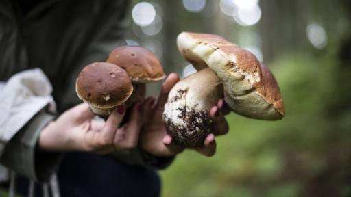 Welche Pilze sind giftig, welche geniessbar?