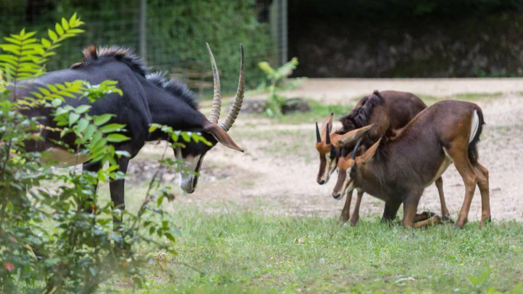 Ein Rappenantilopen-Bock aus Prag integriert sich gut in die Herde im Zoo Basel.