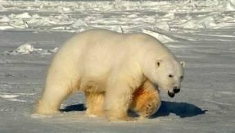 Ein norwegischer Touristenführer ging zu nah an einen Eisbären ran und wurde gebüsst (Archiv)