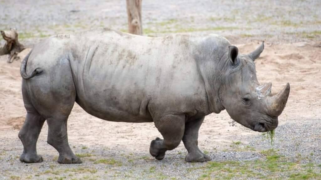 Nashornbulle Kimba erkundet sein neues Zuhause im Zoo Zürich.