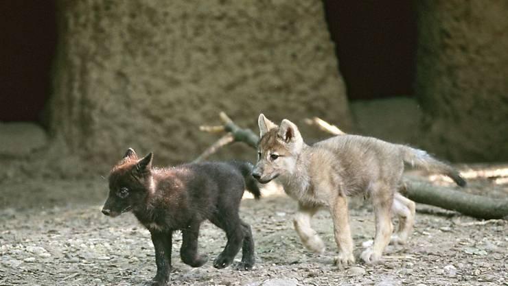 2005 purzelten die jungen Wölfe durch ihr neues Zuhause.
