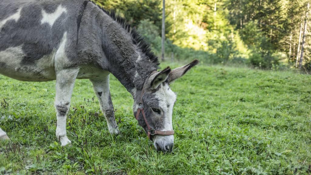 «Ungewöhnlich»: Wölfe reissen Esel und fressen ihn