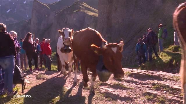 Spektakulärer Alpaufzug auf der Engstligenalp