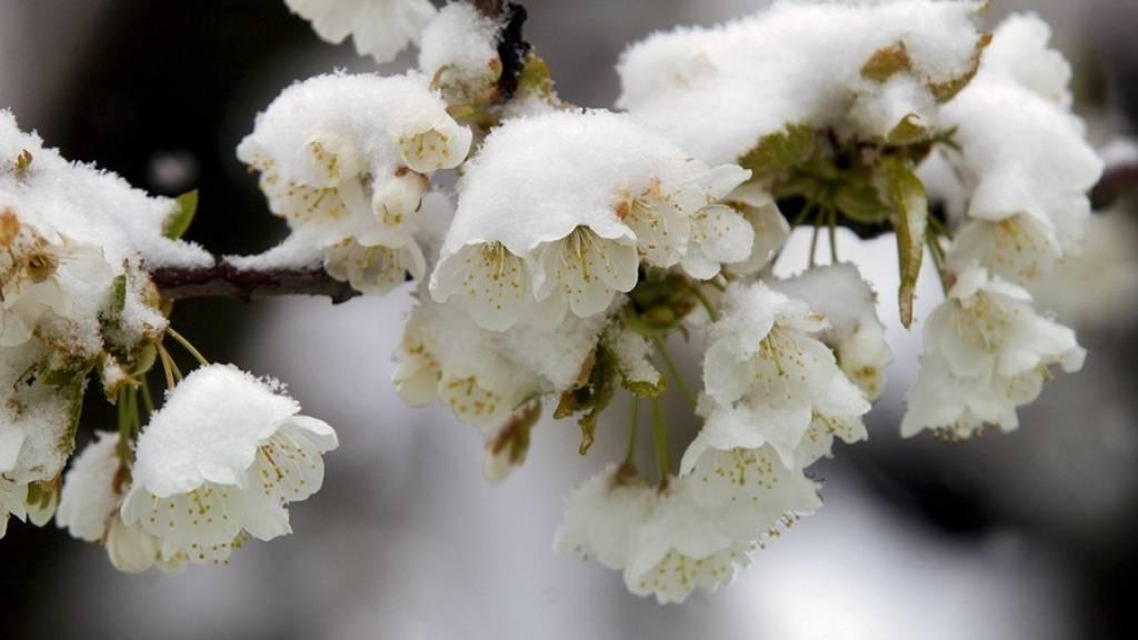 Das kalte Wetter im April sorgte bei blühenden Obstbäumen in der Schweiz für Frostschäden. (Symbolbild)
