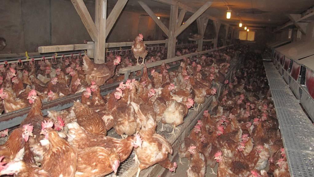 Jährlich werden tausende Hühner ausgemustert.