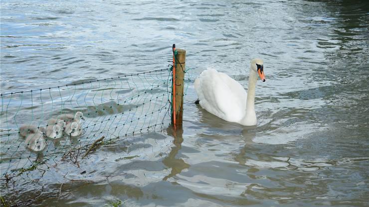 Die Schwanenfamilie hält sich nahe am Ufer um nicht in die starke Strömung zu geraten.