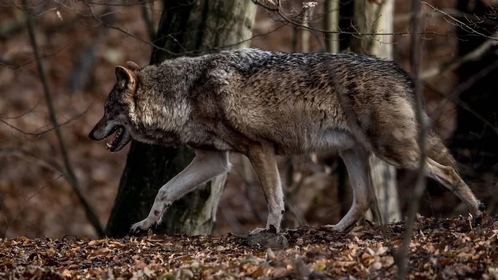 Wolf reisst Schaf im Maderanertal