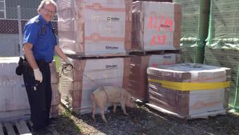 Der Baselbieter Polizist musste das Schwein festhalten, bis sein Besitzer eintraf. Wofür er die Plastikhandschuhe angezogen hat, ist nicht klar.