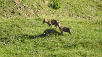 Zwei Jungwölfe in Graubünden wurden von der Wildhut geschossen. Zwei weitere Abschüsse sind vorgesehen. (Themenbild).